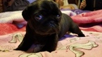 Pug Puppy For Sale in SALEM, OR