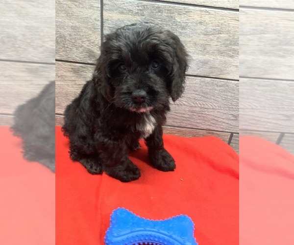 View Ad: Cockapoo Litter of Puppies for Sale near New South Wales Australia