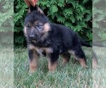 Puppy 2 German Shepherd Dog