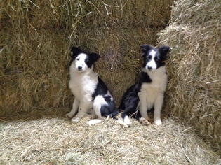 Border Collie Puppy for sale in REEDS, MO, USA