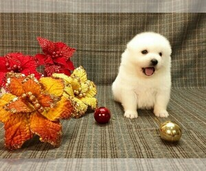 Japanese Spitz Dog for Adoption in SAN JOSE, California USA