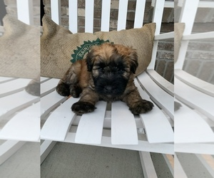 Soft Coated Wheaten Terrier Puppy for sale in INDIANAPOLIS, IN, USA