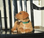 Golden Retriever Puppy For Sale in LIVE OAK, FL