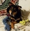 Australian Shepherd Puppy For Sale in OCALA, FL, USA