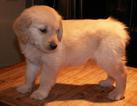 Golden Retriever Puppy For Sale in ASH GROVE, MO, USA