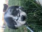Miniature Australian Shepherd Puppy For Sale in EVANS, Colorado,