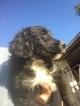 Australian Shepherd-Poodle (Miniature) Mix Puppy For Sale in SCOTTSDALE, AZ, USA