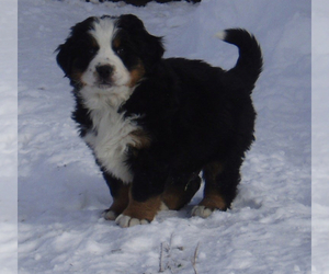 Bernese Mountain Dog Puppy for Sale in READING, Pennsylvania USA