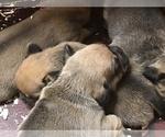 Puggle pups