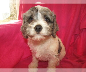 Cavapoo Puppy for sale in BATTLE CREEK, MI, USA