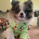 Pomeranian Puppy For Sale in CHAGRIN FALLS, OH, USA