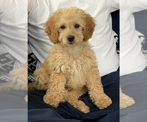 Goldendoodle Puppy for sale in ORLAND PARK, IL, USA