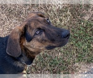 German Shepherd Dog-Mountain Cur Mix Dog for Adoption in LEONARDTOWN, Maryland USA