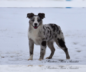 Australian Shepherd Dog for Adoption in EASTON, Missouri USA