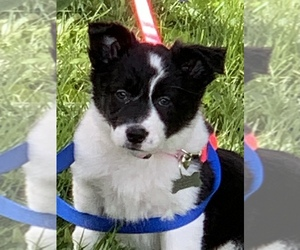 Border Collie Puppy for sale in GREENVILLE, KY, USA