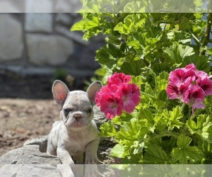 French Bulldog Puppy for sale in NORTHRIDGE, CA, USA