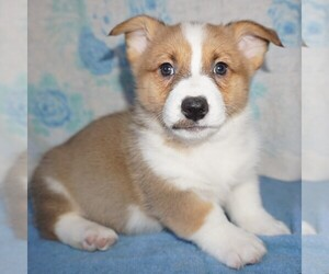 Pembroke Welsh Corgi Dog for Adoption in FORT PLAIN, New York USA