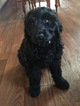 Labradoodle Puppy For Sale in WAYNESBORO, PA