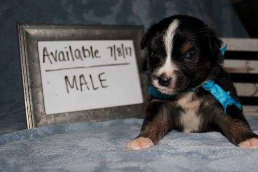 View Ad: Australian Shepherd Puppy for Sale, France