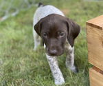 Small #13 German Shorthaired Pointer