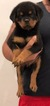 Rottweiler Puppy For Sale in SUN VALLEY, CA,