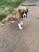 Boxer Puppy For Sale in DENVER, CO,