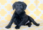Labradoodle Puppy For Sale in MOUNT JOY, PA,