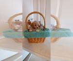 Puppy 1 Bernedoodle-Goldendoodle Mix