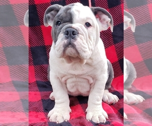 Bulldog Puppy for Sale in LOX, Florida USA