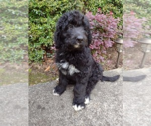 Bernedoodle Puppy for sale in AND, SC, USA