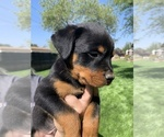 Small #43 Rottweiler