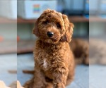 Small #14 Australian Labradoodle