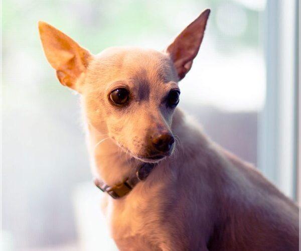 Chihuahua Mix dog