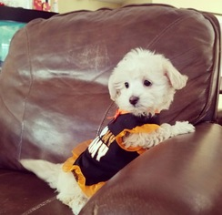 Maltese-Poodle (Toy) Mix Puppy for sale in LOS ANGELES, CA, USA