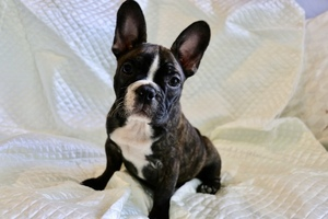 Faux Frenchbo Bulldog Puppy For Sale in REDWAY, CA, USA
