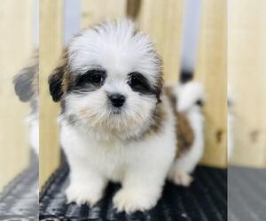 Shih Tzu Puppy for sale in CINCINNATI, OH, USA