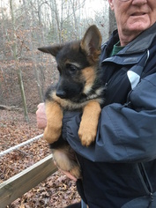 German Shepherd Dog Puppy For Sale in HARTWELL, GA