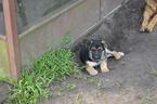 Puppy 5 King Shepherd