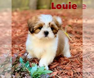 Shih Tzu Puppy for sale in BUFORD, GA, USA