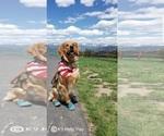 Golden Retriever Puppy For Sale in SAINT LOUIS, MO, USA