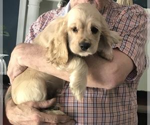 Cocker Spaniel Puppy for sale in BERKELEY, NJ, USA