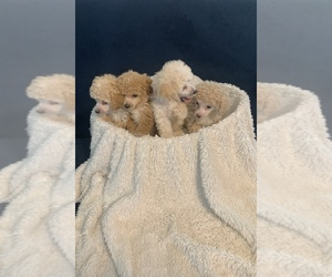 Poodle (Toy) Puppy for sale in ELDERWOOD, CA, USA