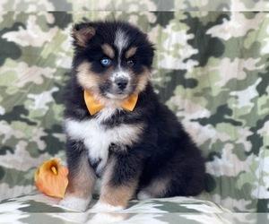 Pomeranian-Pomsky Mix Puppy for sale in LAKELAND, FL, USA
