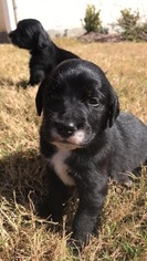 Dalmatian-English Cream Golden Retriever Mix Puppy For Sale in BRYAN, TX, USA