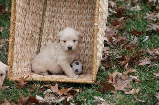 Golden Retriever Puppy For Sale in SAVOY, IL