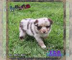 Puppy 5 Miniature Australian Shepherd