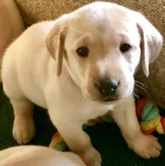 Labrador Retriever Puppy For Sale in RIVERSIDE, CA, USA