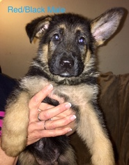 German Shepherd Dog Puppy For Sale in HILLSBORO, MO, USA