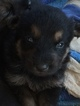 German Shepherd Dog Puppy For Sale in WEST UNION, OH