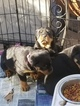 Rottweiler Puppy For Sale in SAINT LEONARD, MD, USA